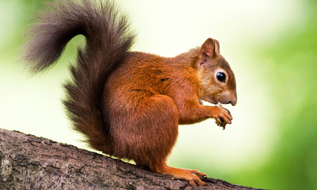 Red-squirrels-on-Brownsea-007